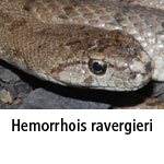 Hemorrhois ravergieri