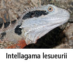 Intellagama lesueurii