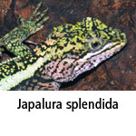 Japalura splendida