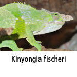 Kinyongia fischeri