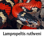 Lampropeltis ruthveni