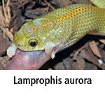 Lamprophis aurora
