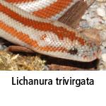 Lichanura trivirgata