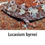 Lucasium byrnei