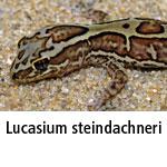 Lucasium steindachneri