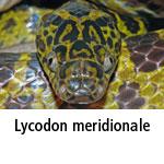 Lycodon meridionale