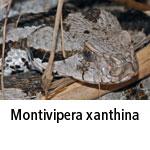 Montivipera xantina