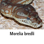 Morelia bredli