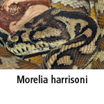 Morelia harrisoni