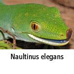 Naultinus elegans