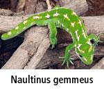 Naultinus gemmeus