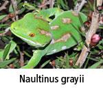 Naultinus grayii