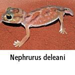 Nephrurus deleani