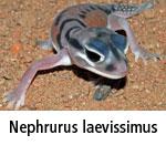 Nephrurus laevissimus