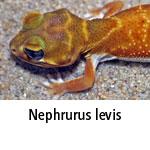 Nephrurus levis