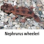 Nephrurus wheeleri