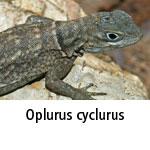 Oplurus cyclurus