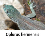 Oplurus fierinensis