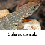 Oplurus saxicola
