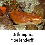 Orthriophis moellendorffi