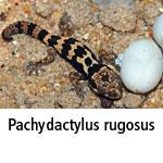 Pachydactylus rugosus