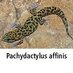 Pachydactylus affinis