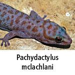 Pachydactylus mclachlani