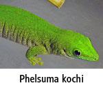 Phelsuma kochi