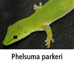 Phelsuma parkeri