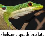 Phelsuma quadriocellata