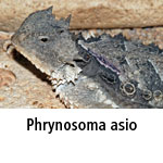 Phrynosoma asio