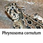 Phrynosoma cornutum
