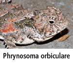 Phrynosoma orbiculare