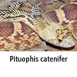 Pituophis catenifer