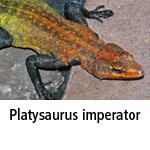 Platysaurus imperator