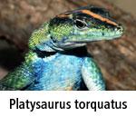 Platysaurus torquatus