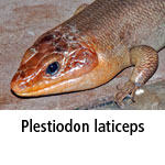 Plestiodon laticeps