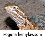 Pogona henrylawsoni