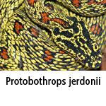 Protobothrops jerdonii