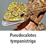 Pseudocalotes tympanistriga