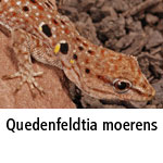 Quedenfeldtia moerens