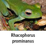 Rhacophorus prominanus