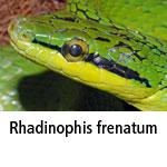 Rhadinophis frenatum