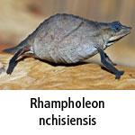 Rhampholeon nchisiensis