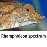 Rhampholeon spectrum