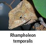 Rhampholeon temporalis