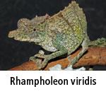 Rhampholeon viridis