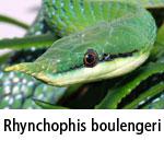 Rhynchophis boulengeri