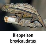 Rieppeleon brevicaudatus