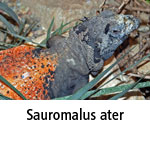 Sauromalus ater